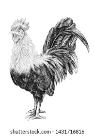 Black and white drawing of a rooster, a rooster with a comb and a tail