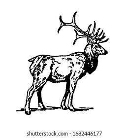 Black and white illustration of wapiti American elk isolated on white background