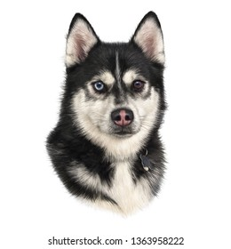 Black and white Siberian husky with multi-colored eyes isolated on white background. Hand drawn portrait of dog. Realistic illustration of husky dog. Animal art collection. Design template