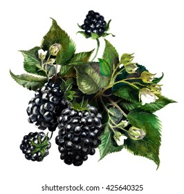 Blackberries on a drips of watercolor background, watercolor painting
