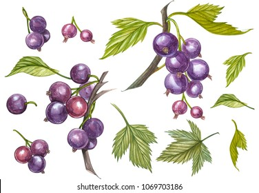 Blackcurrant with leaf isolated on white background. Hand-drawn watercolor illustration.