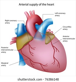 Blood supply to the heart, sites of heart attack