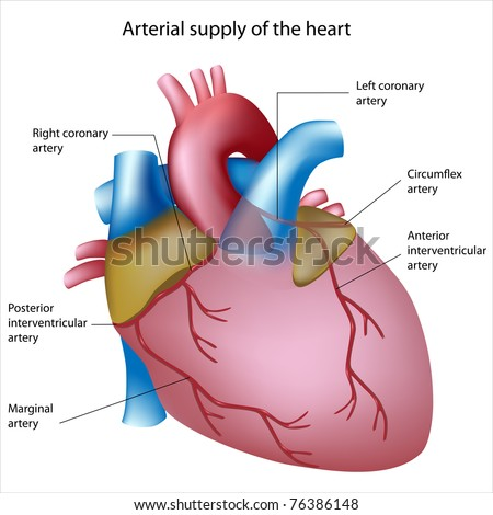 Royalty Free Stock Illustration of Blood Supply Heart Sites Heart ...