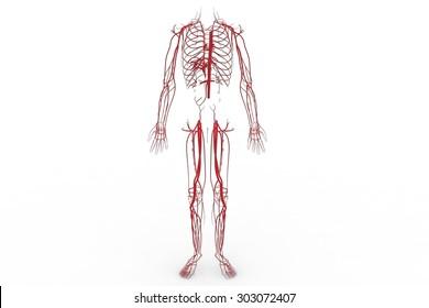 Blood system, Circulatory system, cardiovascular system, lymphatic system,  vascular system, blood vessels, lymph nodes, and lymph vessels