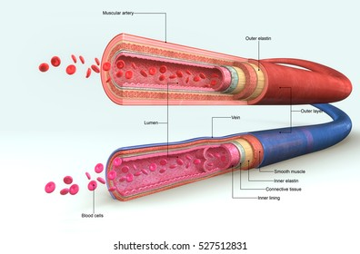 Blood vessels anatomy 3d illustration