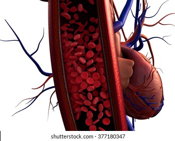 blood vessels, artery shown with a cut out section, Contraction of blood vessels on a heart background, erythrocytes in the vein, erythrocytes and heart on the white background