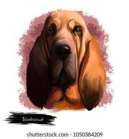 Bloodhound, Chien de Saint-Hubert, St. Hubert Hound dog digital art illustration isolated on white background. Norwegian origin hunting dog. Cute pet hand drawn portrait. Graphic clip art design
