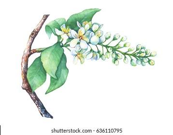 Blooming branch bird cherry, Prunus padus. Hand drawn watercolor painting on white background.