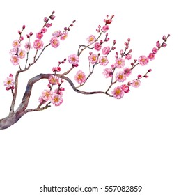 The blooming branch of Japanese plum. Watercolor