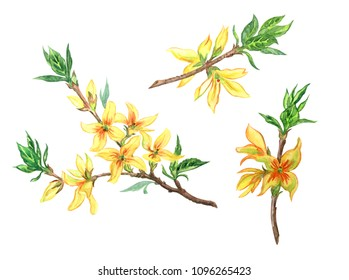 Blooming forsythia branch watercolor painting on a white background, isolated with clipping path.