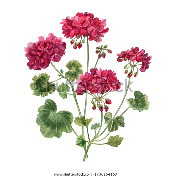 Blooming geranium.  Floral hand drawn watercolor illustration with pink flowers and leaves on a white background.