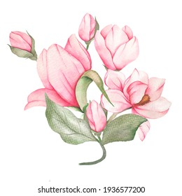 Blooming magnolia branch. Watercolor illustration. pink Magnolias. Hand drawn isolated. Botanical flowers