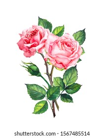 Blooming pink roses hand drawn illustration. Flourish composition, bouquet. Beautiful flowers with buds and leaves. Flowering plants isolated on white background