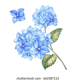 Blossom hydrangea flowers. Awesome blue floral heads. Design for marriage, wedding or invitation card. Blooming flower watercolor illustration isolated over white background.