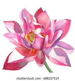 Blossomed pink lotus painted in watercolor on an isolated white background