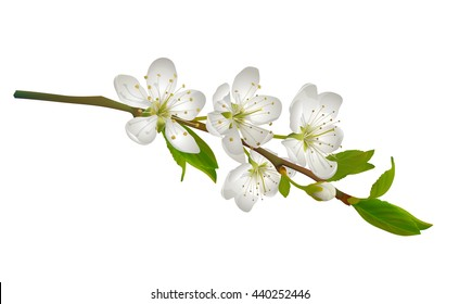 Blossoming cherry branch with white flowers. Realistic illustration