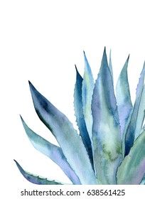 Blue agave plant. Watercolor illustration on white.