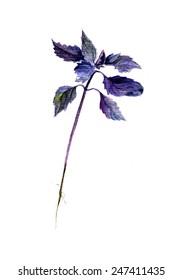 Blue Basil plant watercolor