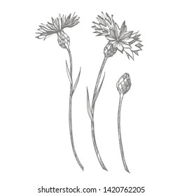 Blue Cornflower Herb or bachelor button flower bouquet isolated on white background. Set of drawing cornflowers, floral elements, hand drawn botanical illustration.