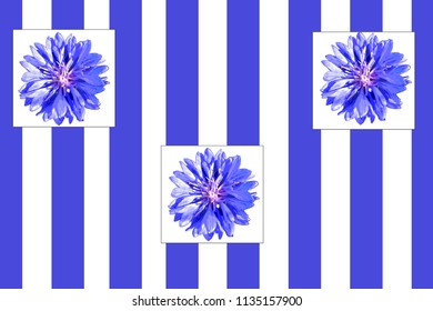 Blue cornflowers on a blue white striped background