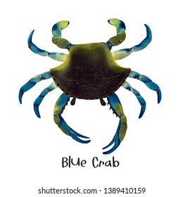 blue crab animal realistic illustration