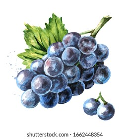 Blue Isabella grapes with green leaf. Hand drawn watercolor horizontal  illustration, isolated on white background