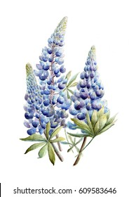 Blue Lupine Watercolor
