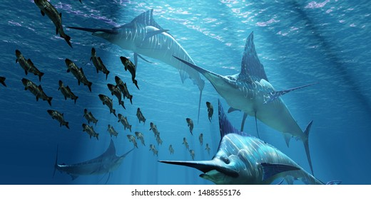 Blue Marlin Hunting 3D illustration - A pack of Indo-Pacific Blue Marlin predatory fish hunt a school of Pacific Herring fish.