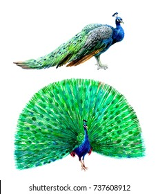 A blue peacock with a folded and open tail. Watercolor illustration isolated on white background.