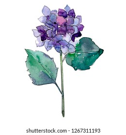 Blue purle hydrangea floral botanical flower. Wild spring leaf wildflower isolated. Watercolor background illustration set. Watercolour drawing fashion aquarelle. Isolated flower illustration element.