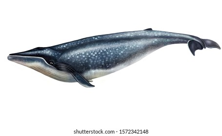 blue whale drawing, isolated image on white background