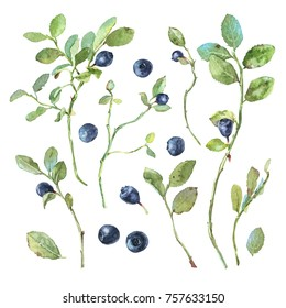 Blueberries (bilberries, whortleberries) with leaves and twigs  isolated on a white background. Watercolor botanical illustration. Set for design. Hand-painted elements.
