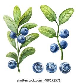 Blueberry. Watercolor botanical illustration.