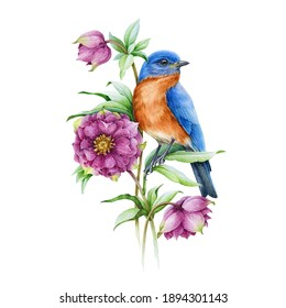 Bluebird on blooming hellebore pink flower watercolor illustration. Realistic floral spring image Isolated on the white background. Eastern sialia bird with tender spring flowers and green leaves.