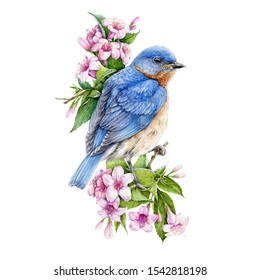 Bluebird sitting on blooming weigela pink bush watercolor illustration. Eastern sialia bird among tender spring flowers with green leaves. Isolated on the white background.