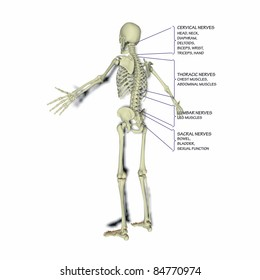 Bodily functions related to the spinal column