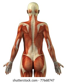 Body without skin posterior view