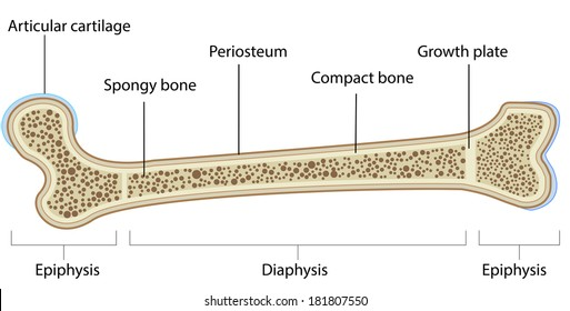 Bone Anatomy Labeled Diagram