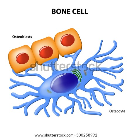 Bone Cells Osteoblasts Osteocyte Stock Illustration 300258992