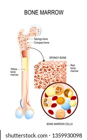 Bone Marrow (Yellow, Red) and blood cells (erythrocyte, lymphocyte, monocyte, esinophil, basophil, neurophil). diagram for your design, educational, biological, science and medical use