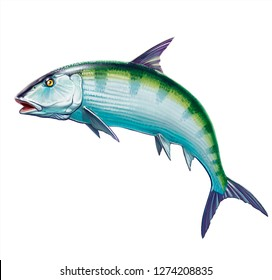 Bonefish on a white background. Realistic illustration of a big fish on white background isolate.