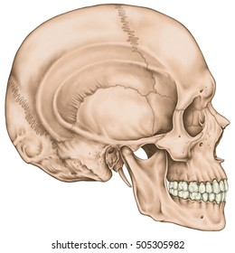 The bones of the cranium, the bones of the head, skull. The boundaries of the facial skeleton. The nasal cavity, the anterior nasal aperture, the orbit. Lateral view.