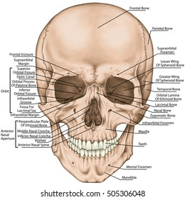 Facial skeleton The