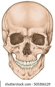 The facial skeleton