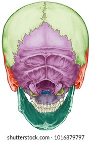 The bones of the cranium, the bones of the head, skull. The individual bones and their salient features in different colors. Posterior view.