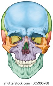 The bones of the cranium, the bones of the head, skull. The individual bones and their salient features in different colors. The names of the cranial bones. Anterior view.