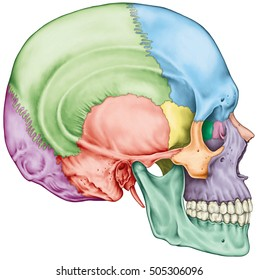 The bones of the cranium, the bones of the head, skull. The individual bones and their salient features in different colors. The names of the cranial bones. Lateral view.