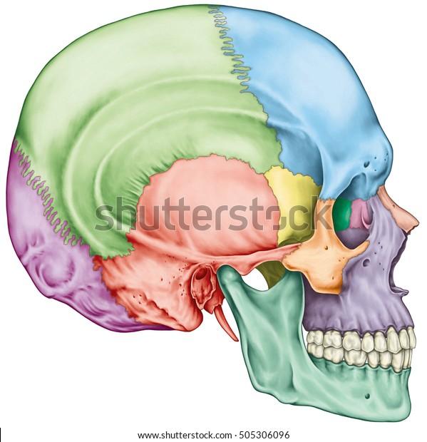 頭蓋骨、頭の骨、頭蓋骨。個々の骨とその突出した特徴が異なる色である。頭蓋骨の名前。側面図。