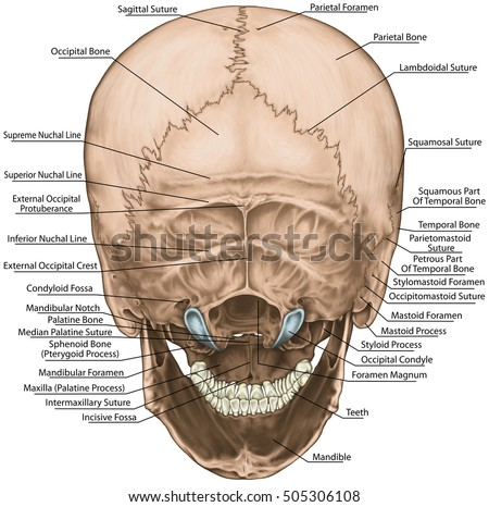 Bones Cranium Skull Anatomical Construction Bones Stock Illustration ...