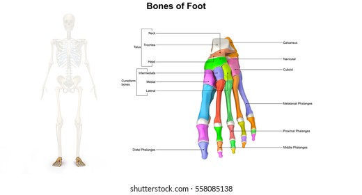 Bones of the foot dorsal view 3d illustration